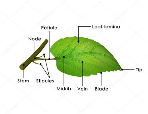 Leaf Part Diagram by Leaf Structure Diagram Stock Photo 169 Sciencepics 72993713