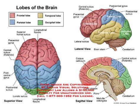 amicus illustration of anatomy lobe brain frontal parietal