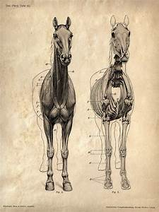 Vintage Science Animal Anatomy Study Poster  Horse Skeleton