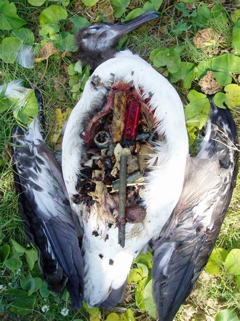toter vogel mit plastik im magen  claire fackler pro
