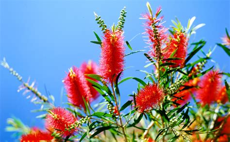 fiori australiani fiori australiani essenze singole benessere dal mondo