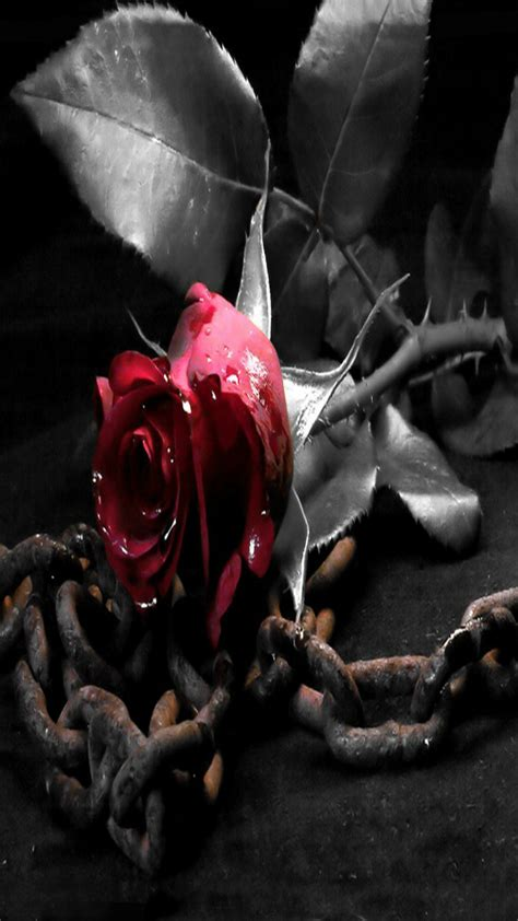 Black rose ultra hd wallpaper free download. Rose Wallpaper Red rose in black and white iphone 5s hd wallpapers - Supportive Guru