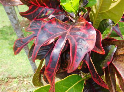 tanaman daun puring 14 50 tanaman hias yang ada di berbagai negara satu jam