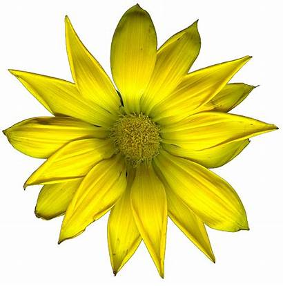 Yellow Flowers Transparent Flower Edited Clip Clipart