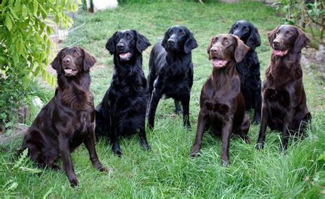 eine große familie flat coated retriever eine gro 223 e familie foto bild tiere haustiere hunde bilder auf