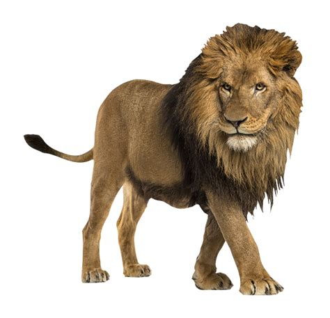 wallmania muursticker leeuw
