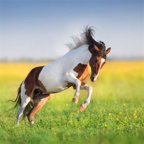 horse paint american facts tobiano quarter fun closely related they