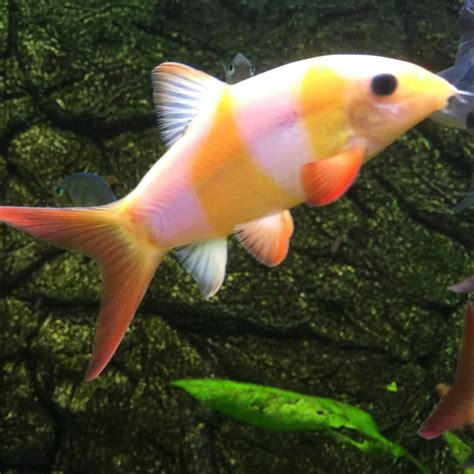 clown loach  tropical fish  tropical fish