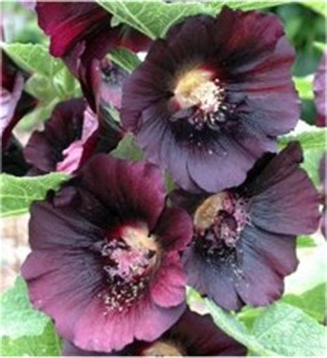 planting hollyhock seeds in fall pictures to pin on