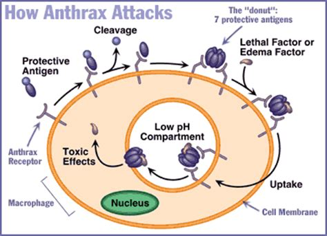 Anthrax Bacterium Diagram by Anthrax