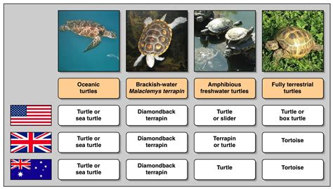 turtle names teaching english in primary school turtle tortoise or terrapin