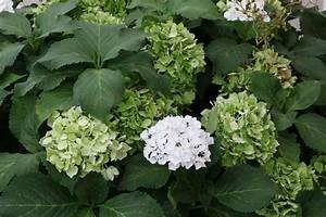 Sind Hortensien Winterhart : sind hortensien giftig hortensien sind sie giftig giftpflanzen in unserer umgebung h tten sie ~ Orissabook.com Haus und Dekorationen