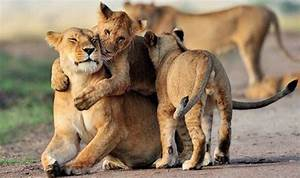 Lioness caught cuddling up to offspring in adorable ...