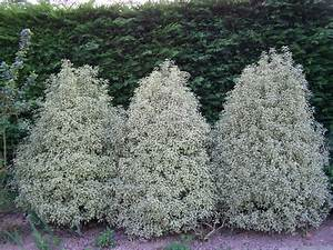 Petit Arbre Persistant : pittosporum tenuifolium 39 variegatum 39 fleurs et jardins de ~ Melissatoandfro.com Idées de Décoration