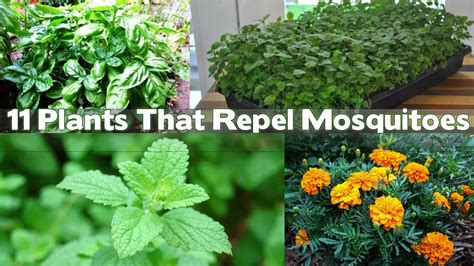 mosquito repellent plants in the philippines top 28 mosquito repellent plants in the philippines where to buy citronella plants in the