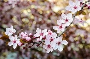 Rosa Blühender Baum Im Frühling : bl hender baum am fr hling frische rosa blumen auf der ~ Lizthompson.info Haus und Dekorationen