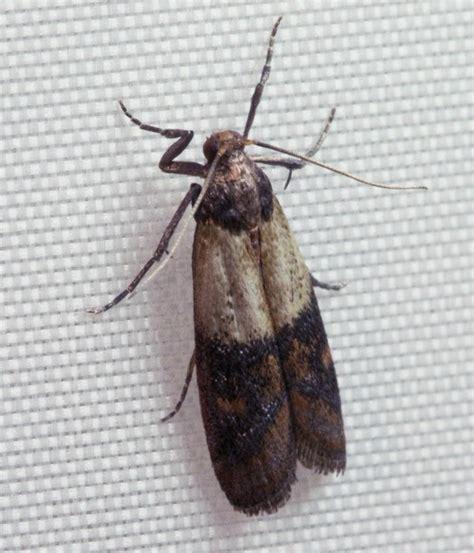 rid  pantry moths thriftyfun
