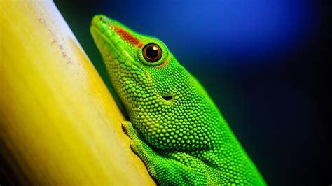 animals lizards reptile wallpapers hd desktop