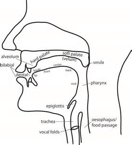 Vocal Tract Labeled