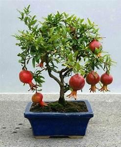 Ginkgo Samen Kaufen : bonsai baum kaufen und richtig pflegen einige wertvolle ~ Lizthompson.info Haus und Dekorationen
