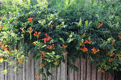 trumpet vine southern lagniappe song of the trumpet vine