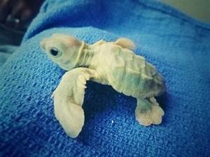 Baby Albino Turtle | Cute Overloaded