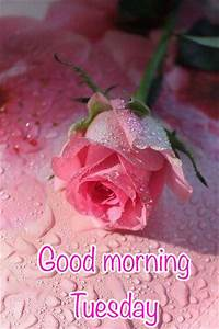 Good Morning Tuesday Pink Rose Pictures, Photos, and ...