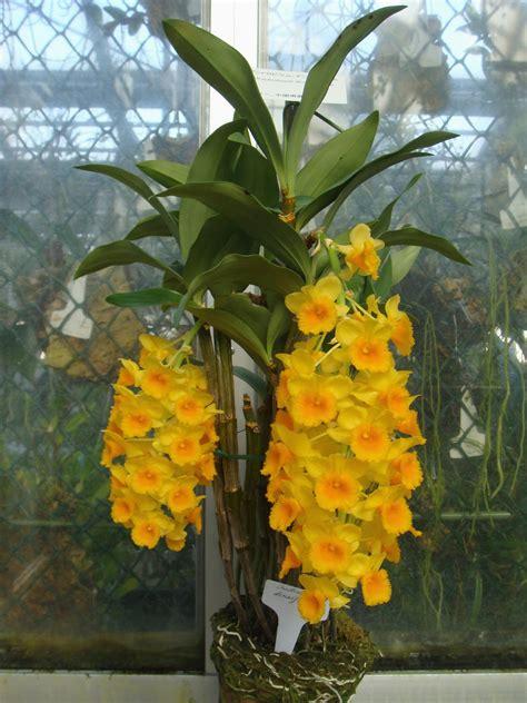 Dendrobium densiflorum Lindley ex Wallich