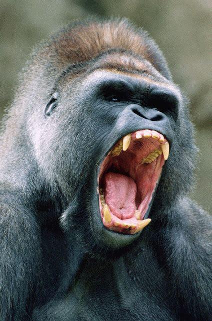 chimpanzee  bonobo  team    page