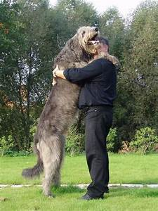 1000+ images about Wolfhound on Pinterest | Beautiful ...