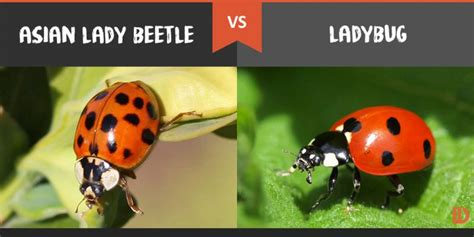 ladybug vs asian beetle asian lady beetle vs ladybug what s the difference difference wiki