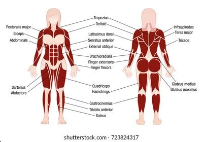 What are these muscle used for?, these muscles originate on the bottom of the top of ribs and insert on the top of the bottom. Simple Muscle Chart Back / Muscle Anatomy Reference Charts ...