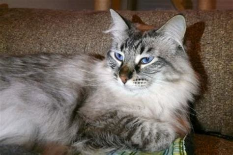 merlins hope  ragdoll  maine coon rescue
