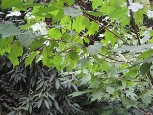 Was Ist Das Für Ein Baum : und was ist das f r ein baum alangium platinifolium ~ Buech-reservation.com Haus und Dekorationen