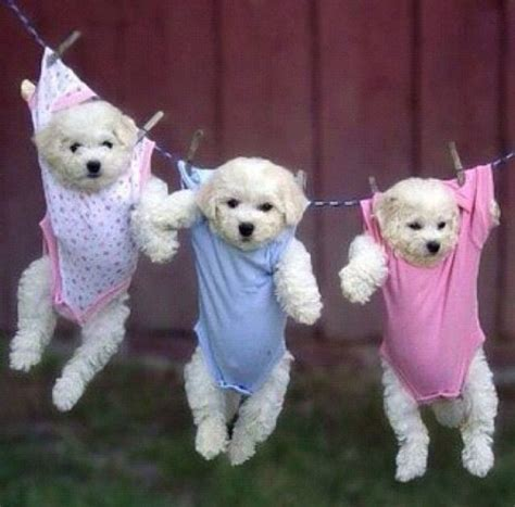 baby puppies baby puppies buppies or puppies in onesies pupsies pets pinterest puppys triplets
