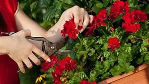 Geranien überwintern Schneiden : geranien beliebte balkonpflanzen richtig pflegen und berwintern ~ Orissabook.com Haus und Dekorationen