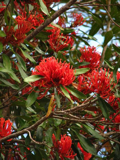 Queensland Tree Waratah (alloxylon Flammeum) Qld Native