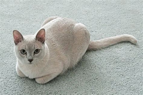 Tonkinese Cat Breed Information, Pictures, Characteristics