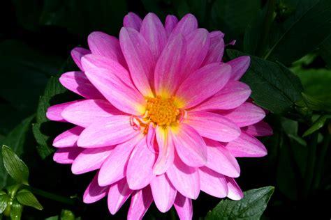pink flower chiiizuka a pink flower