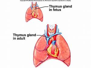Human Biology Online Lab / Thymus Gland by Jay Williams