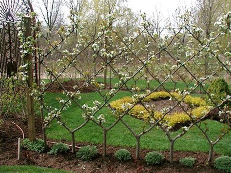 tree espalier train a tree for free pruning for cordon espalier fan espalier perfect plants