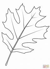 Leaf Oak Coloring Shumard Pages Tree Drawing Printable sketch template