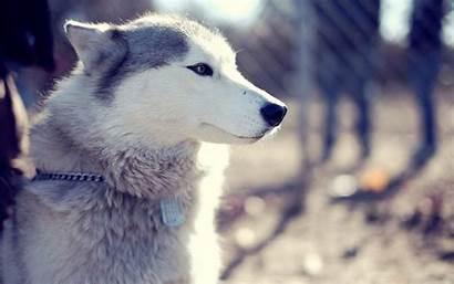 Husky Siberian Wallpapers Photoshoot Cave