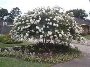 acoma 7 39 10 39 white small tree