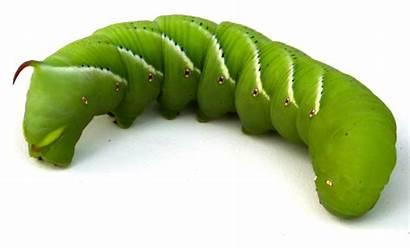 Hornworm Tobacco Hornworms Caterpillar Insect Blood Worm