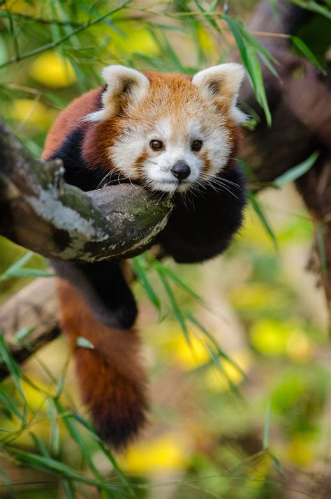 red panda perching  tree  daytime  stock photo