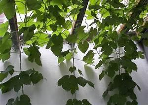 Kletterpflanzen Für Balkon : balkon mit kletterpflanzen 03 hopfen k belpflanze balkon ~ Buech-reservation.com Haus und Dekorationen