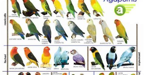 burung lovebird berbagi