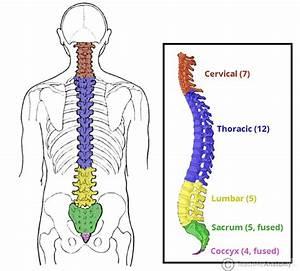 The Vertebral Column - Joints - Vertebrae - Vertebral ...