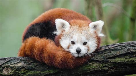 verge review  animals  red panda  verge